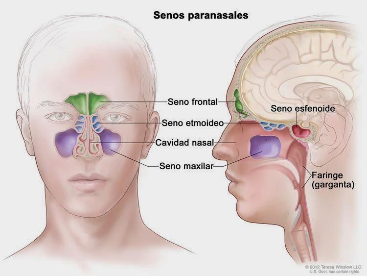 senos-paranasales-1